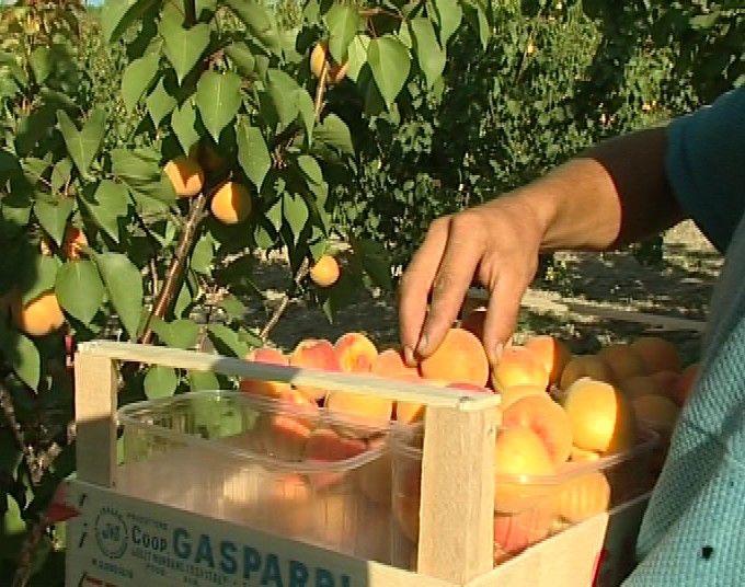 raccolta frutta e verdura lavoro