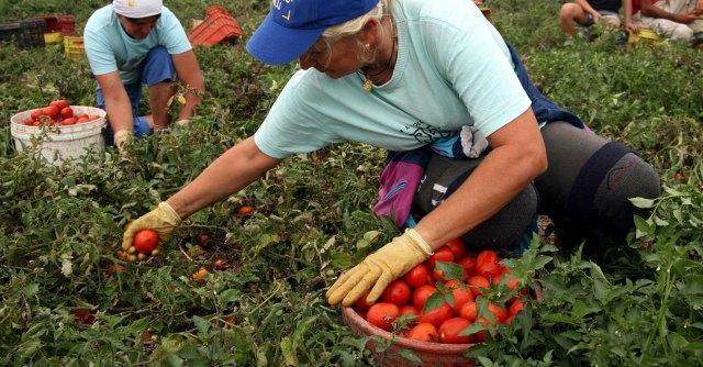 lavoro raccolta pomodori
