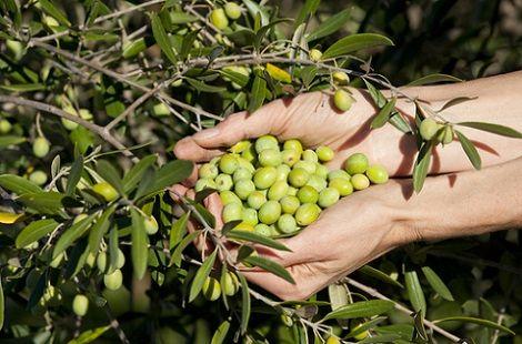 lavoro-raccolta-olive-italia