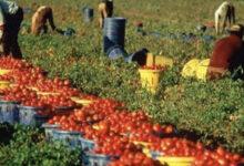 raccolta pomodori casar